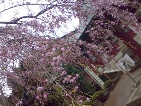志馬彦神社前のしだれ桜